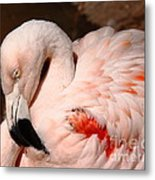 The Shy Flamingo Metal Print