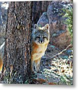 The Shy Fox Metal Print