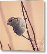 The Sideways Sparrow Metal Print