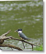 The Southern Kingfisher Side View Metal Print