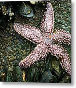 The Starfish  Metal Print by JC Findley
