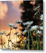 The Sun Sets Over Daisies  Astoria Metal Print