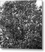 The Survivor Tree In Black And White Metal Print