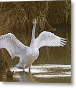 The Swan Spreads Its Wimgs Metal Print