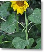The Tallest Sunflower Metal Print