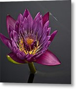 The Tiny Dragonfly On A Water Lily Metal Print
