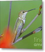 The Tongue Of A Humming Bird  Metal Print