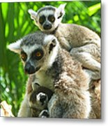 The Twins - Ring-tailed Lemurs Metal Print