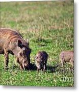 The Warthog Family On Savannah In The Ngorongoro Crater. Tanzania Metal Print
