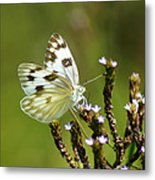 The Western White Metal Print