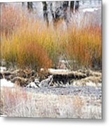 The Wolf And The Coyote Metal Print