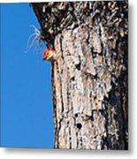 The Woodpecker Is In Metal Print