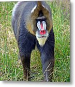 The World's Largest Species Of Monkey The Mandrill  Metal Print
