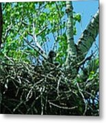 The Young Eaglet Peaks Out  Metal Print