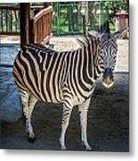 The Zebra Metal Print