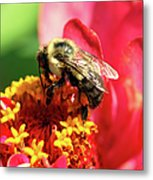 The Zinnia And The Bee Metal Print