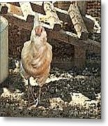 There's  A Chicken In The Hen House Metal Print