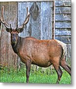 There's An Elk By The Barn Metal Print