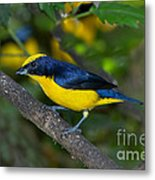 Thick-billed Euphonia Metal Print