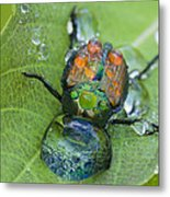Thirsty Beetle Metal Print