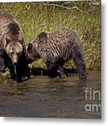 Thirsty Grizzlies  #3418 Metal Print