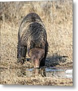Thirsty Grizzly Metal Print