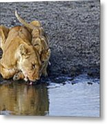 Thirsty Lions Metal Print