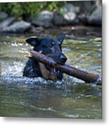 This Dog Loves To Play Fetch Metal Print
