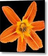 This Orange Lily Metal Print