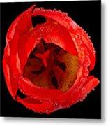 This Red Tulip Metal Print
