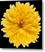 This Yellow Chrysanthemum Metal Print