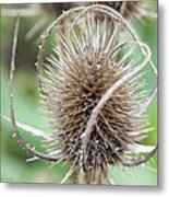 Thistle Metal Print by Edward Hamilton