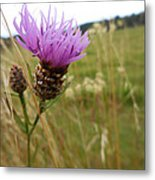 Thistle In A Swiss Field Metal Print