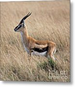 Thompson's Gazelle Metal Print