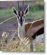 Thomson's Gazelle (gazella Thomsoni Metal Print
