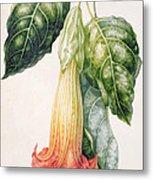 Thorn Apple Flower From Ecuador Datura Rosei Metal Print