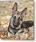 Those Ears Metal Print