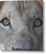 Those Lion Eyes Metal Print