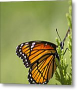 Those Magnificent Monarchs - Danaus Plexippus Metal Print