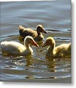 Three Baby Ducks Swimming Metal Print