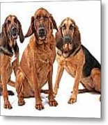 Three Bloodhound Dogs Isolated On White Metal Print by Susan Schmitz