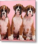 Three Boxer Puppies Metal Print