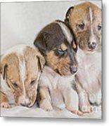 Three Collie Puppies Metal Print