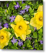 Three Daffodils In Blooming Periwinkle Metal Print