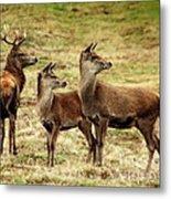 Wildlife Three Red Deer Metal Print