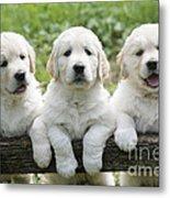 Three Golden Retriever Puppies Metal Print