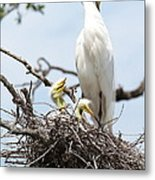 Three Great Egret Chicks In Nest Metal Print by Carol Groenen