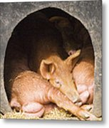 Three Little Pigs Metal Print