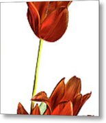 Three Orange Red Tulips Metal Print