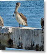 Three Pelicans Metal Print
